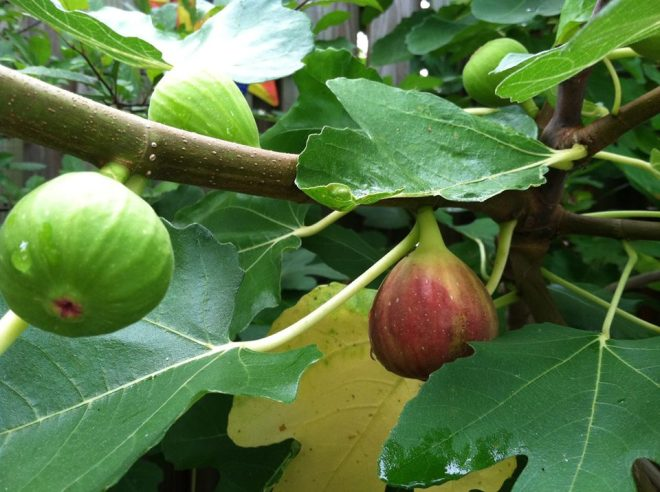 Ripening fig in the backyard